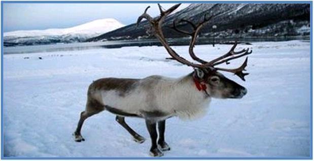 5 Hewan Tercepat di Darat Part I - Rusa Kutub