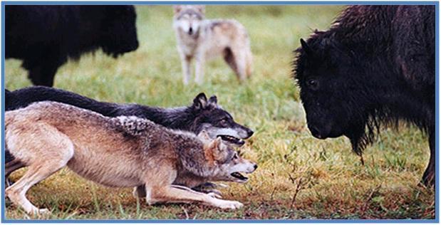 5 Hewan Tercepat di Darat Part II - Coyote