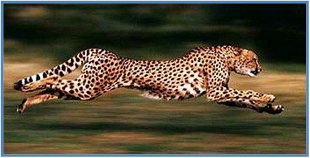 5 Hewan Tercepat di Darat Part I - Cheetah