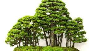 Bonsai Bentuk Kelompok (Yoseue)