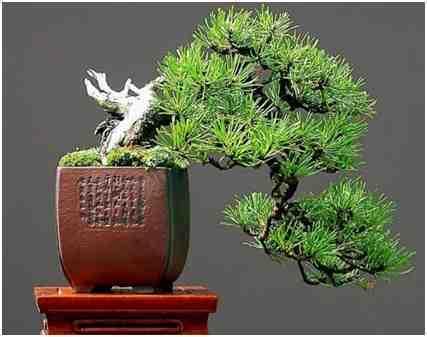 Bonsai Bentuk Setengah Menggantung (Han Kengai)