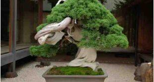 Pohon Bonsai Di Shunka-En, Oleh Kunio Kobayashi
