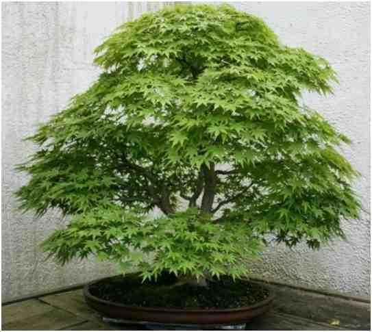Pohon Bonsai Japanese Maple (Acer Palmatum), Oleh Walter Pall