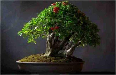 Pohon Bonsai Kecil, Shohin, Oleh Morten Albek