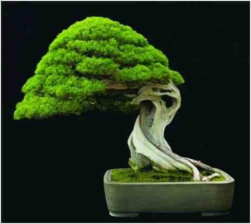 Pohon Bonsai Master Kimura