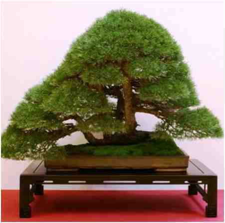 Pohon Bonsai Pinus Silvestris, Oleh Stefano Frisoni