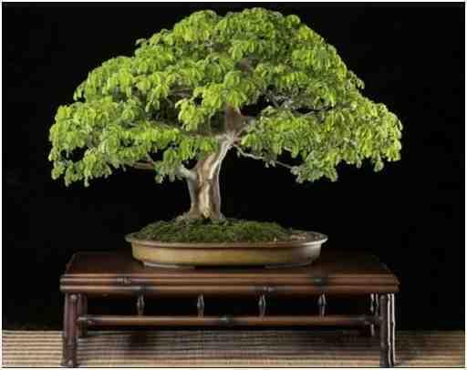 Pohon Bonsai Tropis Brasil, Oleh Budi Sulistyo