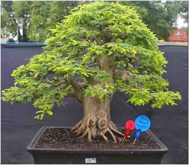 Pohon kedua yang paling sering dijadikan bonsai adalah Asam Jawa
