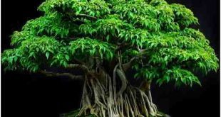 Pohon ketiga yang paling sering dijadikan bonsai adalah Beringin