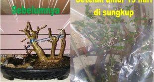 Pentingnya Sungkup Pada Pohon Dongkelan - Sebelum sungkup dan sesudah sungkup umur 15 hari