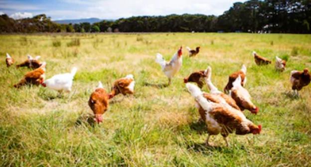 Ayam Umbaran