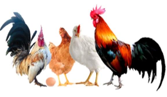 Cara Ternak Ayam Kampung Komplit dan Berhasil