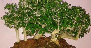 Inilah Hasil Update Pentingnya Sungkup Pada Pohon Dongkelan
