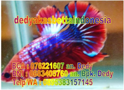 Dedy Akas Betta Indonesia
