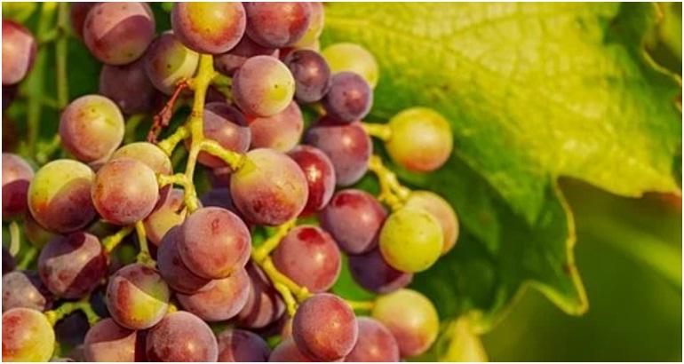 Agar Anggur Cepat Berbuah - Pixabay