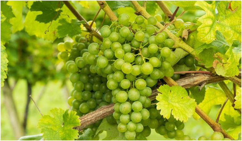 Anggur Lebat Buahnya - Pixabay