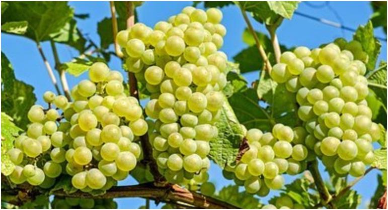 Panduan Lengkap Menanam Anggur - Pixabay