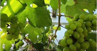 Q & A Kebun Anggur Di Atas Rumah